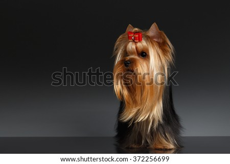 Yorkshire Terrier Dog Stands and Looking to left on Black background