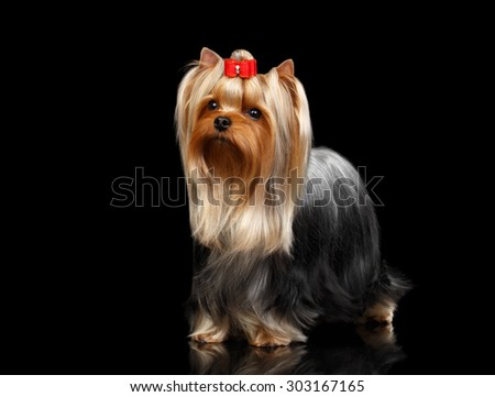 Yorkshire Terrier Dog Stands on Black Mirror background