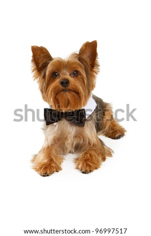 Yorkshire Terrier dog wearing a formal black tie isolated on white - stock photo