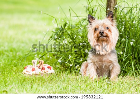 Yorkshire terrier dog with cake on hist birth days - stock photo