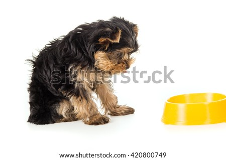 Yorkshire Terrier Dog with food bowl - stock photo