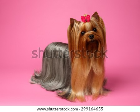 Yorkshire Terrier Dog with long groomed Hair Stands on Pink  background - stock photo