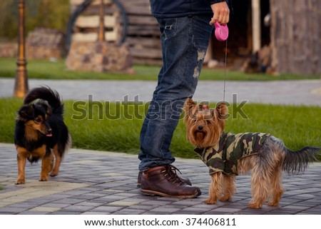 Yorkshire Terrier Dog with owner in the park - stock photo