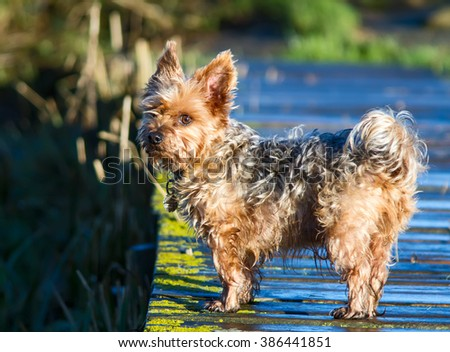 Yorkshire Terrier Dog with scruffy wet fur. - stock photo