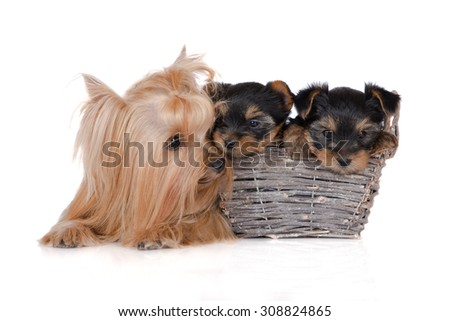 yorkshire terrier dog with two puppies - stock photo