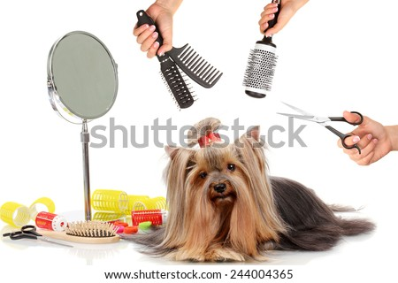 Yorkshire terrier grooming at the salon for dogs - stock photo