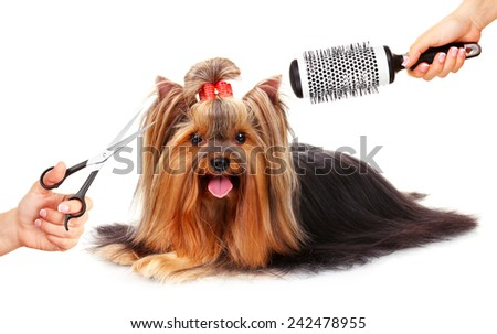 Yorkshire terrier grooming at the salon for dogs, isolated on white - stock photo