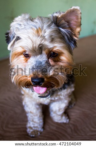 Yorkshire Terrier Home,close up