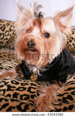 Yorkshire terrier  in a dress