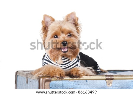 Yorkshire terrier in a sailor's jacket lying on a blue trunk