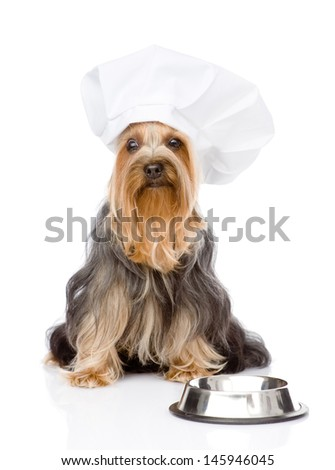 Yorkshire Terrier in chef's hat begging for food. looking at camera. isolated on white background  - stock photo