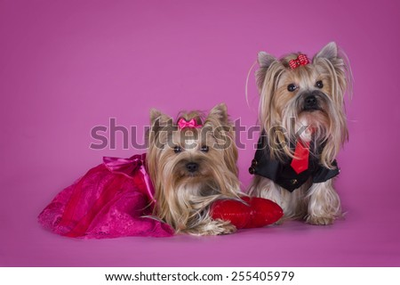 Yorkshire terrier in clothes isolated on pink background