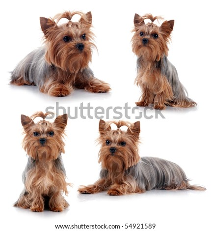 Yorkshire Terrier in front of a white background, studio shot