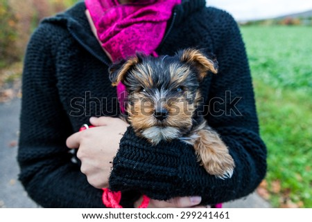 Yorkshire terrier in hands - stock photo