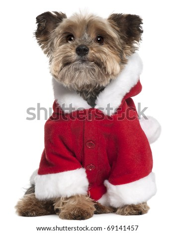 Yorkshire Terrier in Santa outfit, 9 years old, sitting in front of white background - stock photo