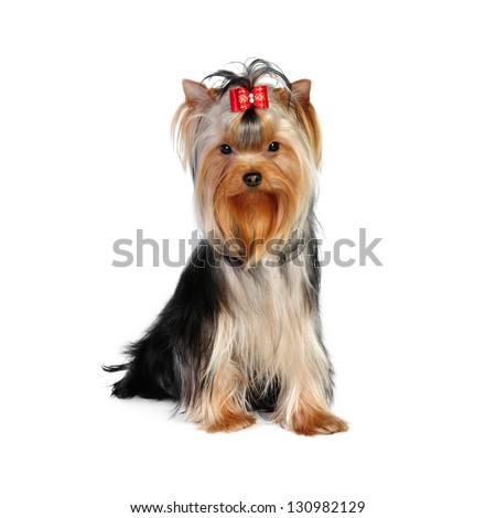 Yorkshire terrier in studio - stock photo