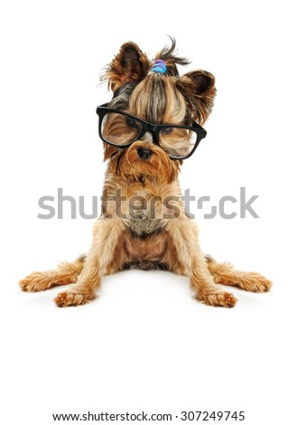 yorkshire terrier  in the glass isolated on white - stock photo