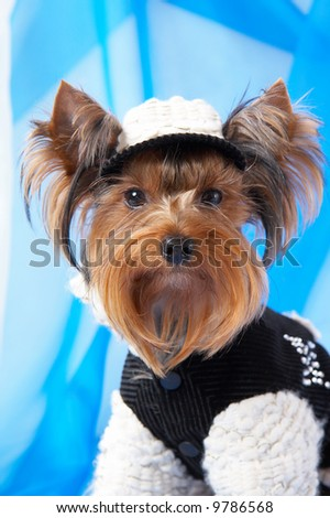 Yorkshire Terrier in the jacket and cap