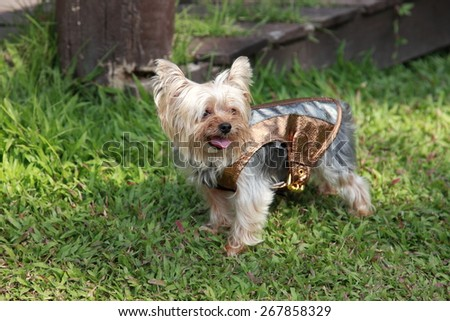 Yorkshire Terrier in warm clothes in the garden