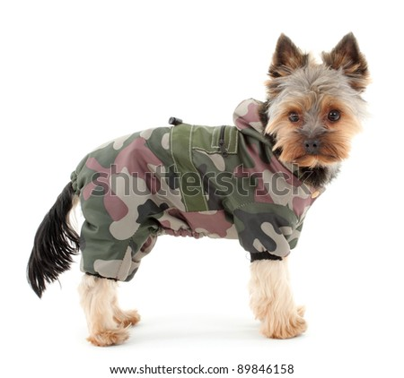 Yorkshire terrier in winter camouflage clothes, isolated on white background. - stock photo
