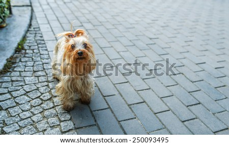 Yorkshire Terrier is small dog breed of terrier type, developed in 19th century in county of Yorkshire, England, to catch rats in clothing mills, also used for rat-baiting. - stock photo