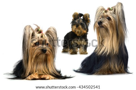 yorkshire terrier isolated on white - stock photo