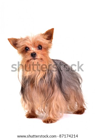 Yorkshire terrier isolated on white background - stock photo