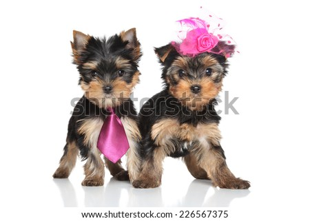 Yorkshire Terrier lady and gentlemen puppies on a white background - stock photo