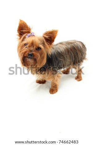 Yorkshire Terrier listening with pointed ears - stock photo
