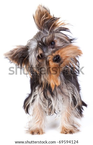 Yorkshire terrier looking at the camera in a head shot, against a white background - stock photo