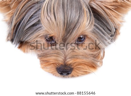 Yorkshire terrier looking at the camera in a head shot, against a white background. - stock photo