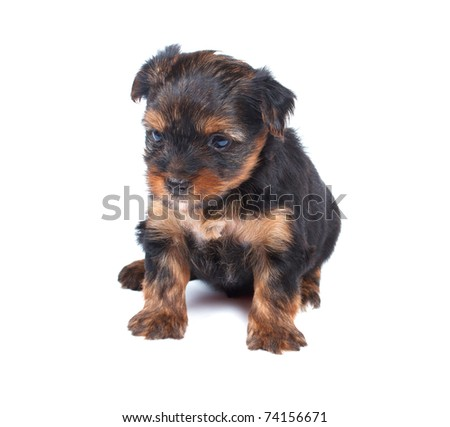 Yorkshire terrier looking at the white background