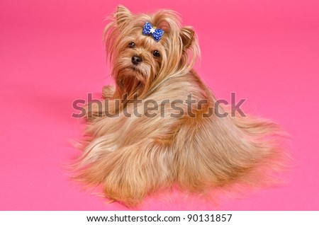 Yorkshire Terrier lying against pink background - stock photo