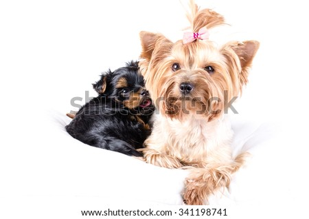 Yorkshire terrier mom and pup, 2 months old, isolated on white.  - stock photo