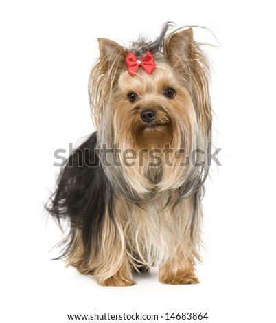 Yorkshire Terrier (15 months) in front of a white background