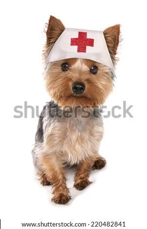 Yorkshire terrier nurse  - stock photo