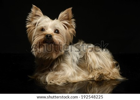 Yorkshire Terrier on a black background