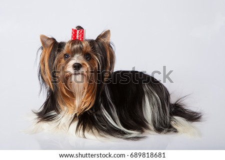 Yorkshire terrier on a bright background in the studio