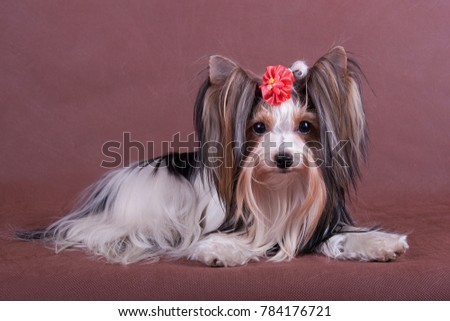 Yorkshire Terrier on a brown background