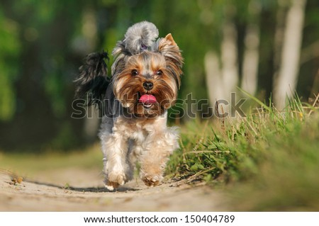 Yorkshire terrier on a summer outing - stock photo