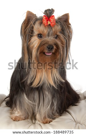 Yorkshire terrier on banquette on light background.
