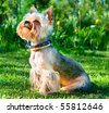 Yorkshire Terrier  on green grass - stock photo
