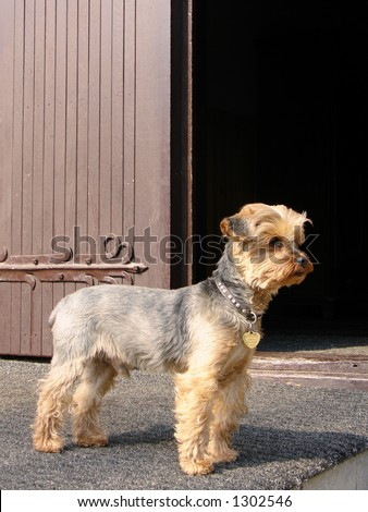 Yorkshire terrier on guard