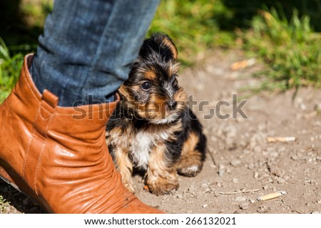 Yorkshire terrier on meadow - stock photo