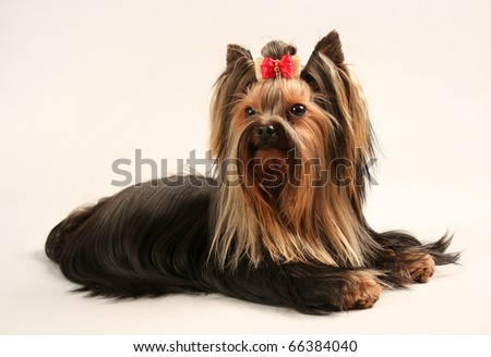 yorkshire terrier on soft background