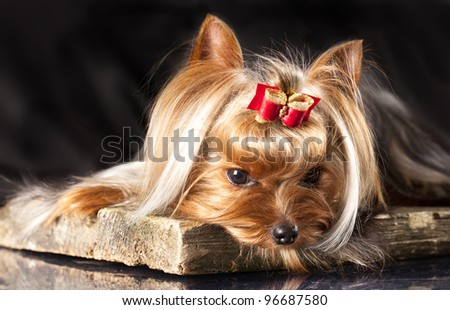 yorkshire terrier on the black background