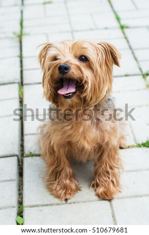Yorkshire Terrier on the walk on the background of the area, which is paved with paving tiles