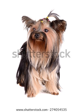 yorkshire terrier on white background - stock photo