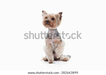 Yorkshire terrier on white gradient background