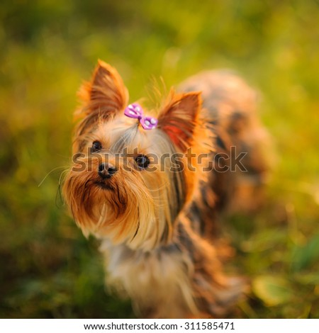 Yorkshire terrier outdoor with bow-tie on head enjoying  sunset light.  - stock photo